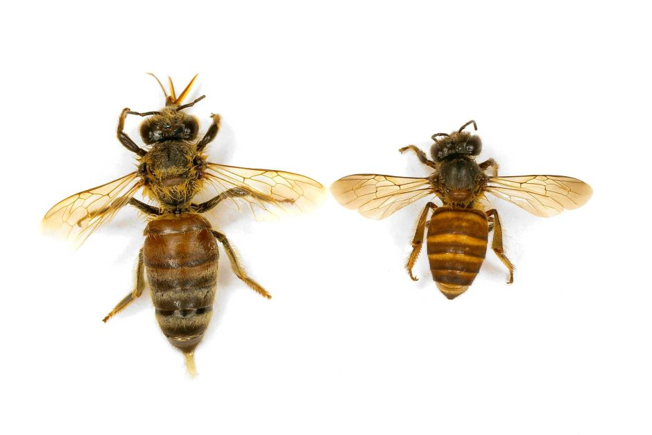Asian Bee (right)