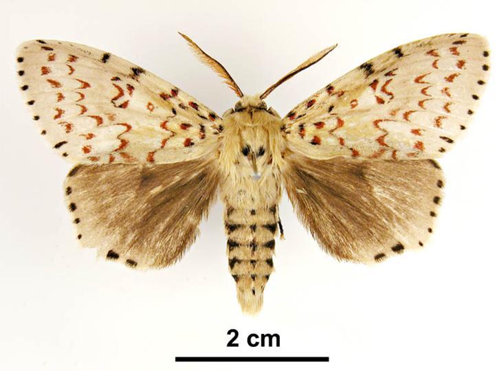 Asian Gypsy Moth