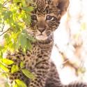 Baby Leopard cub, Mala Mala, South Africa