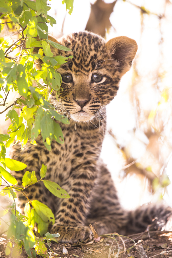 Baby Leopard cub Mala Mala South Africa A Wedding Cinematographers Journey To Africa