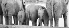 elephants drinking - Etosha, Namibia