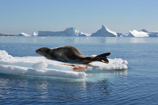 798194 10152565052710232 11694674 o 550x365 Antarctic Adventure Honeymoon