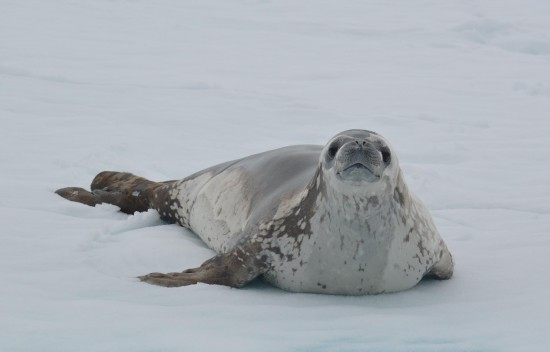 843928 10152565064005232 927353802 o 550x352 Antarctic Adventure Honeymoon