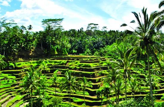 Creative Holidays - Bali rice field