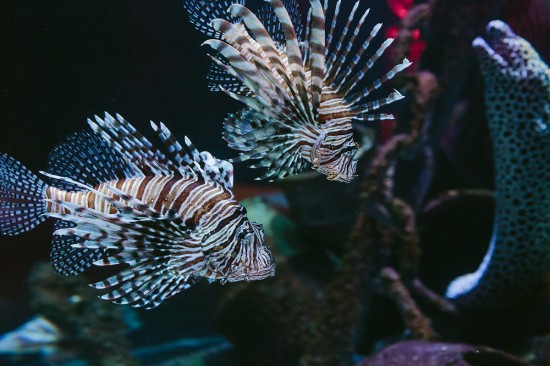 BrennanVanessa EngagementParty 20 550x366 An Enchanting Engagement At The Melbourne Aquarium