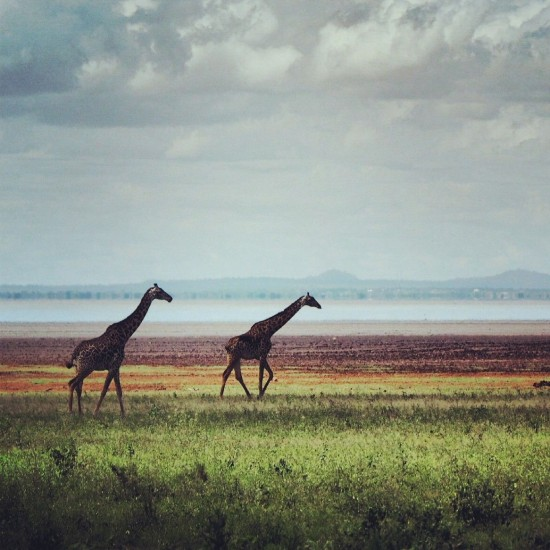 Giraffes 550x550 Groom's Africa Honeymoon Report: Adventure, Animals and Elton