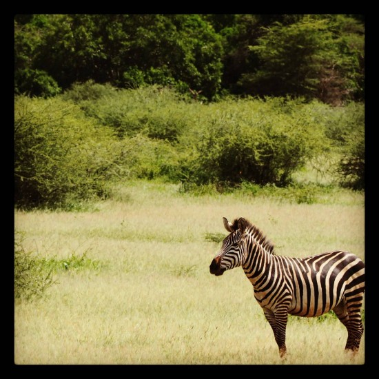 Zebra 550x550 Groom's Africa Honeymoon Report: Adventure, Animals and Elton