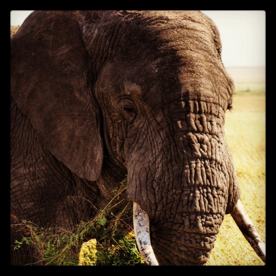 elephant 550x550 Groom's Africa Honeymoon Report: Adventure, Animals and Elton