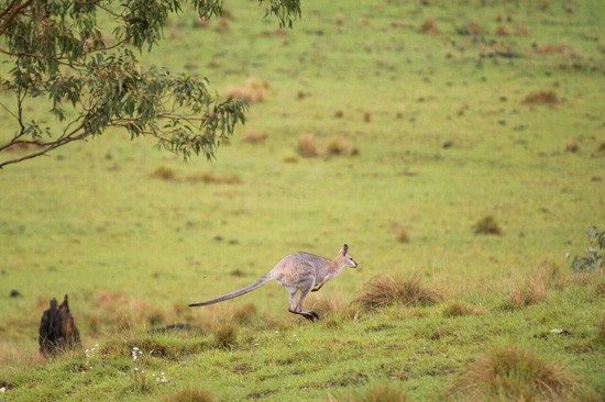 kangaroo at spicers