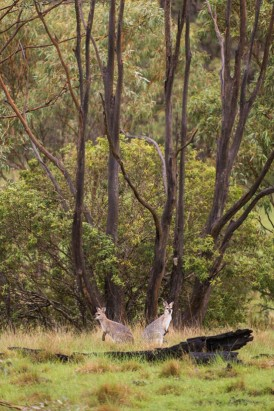 kangaroos at spicers canopy