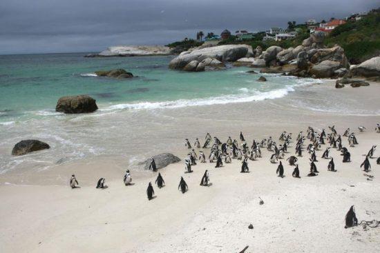 Penguins on Boulder Rock
