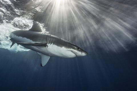 Shark Explorer Simon's Town