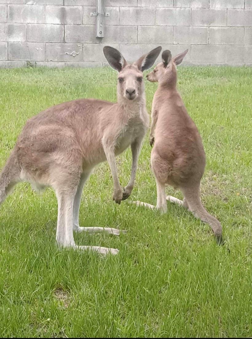 24262810__1618530702-8307-Kangaroos.jpg