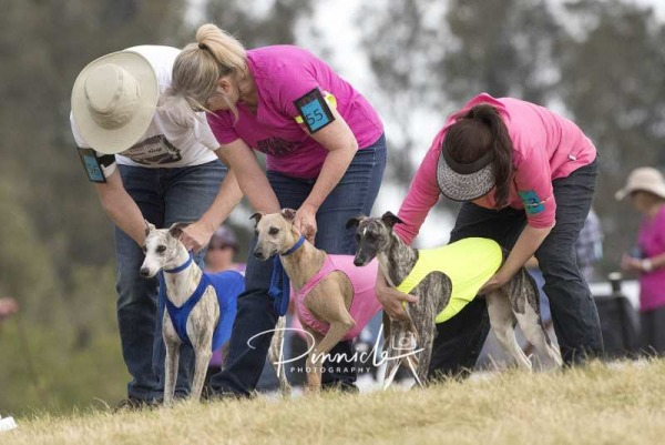 Lure Coursing - NSW Lure Coursing Association -  2nd October 2017