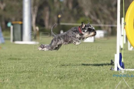 Dogs NSW Agility Committee Fundraiser - 28 Feb 2015