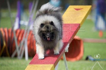 ADAA Agility - Glendenning NSW - 18th April 2015