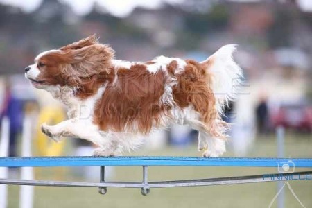 Goulburn Kennel & Dog Training Club - 31 May 2015 - Agility
