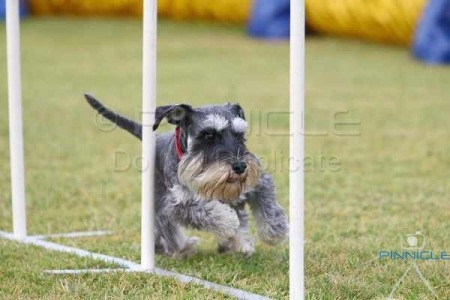 Dogs NSW - Dogs On Show - 13th June 2015 - Agility Demo
