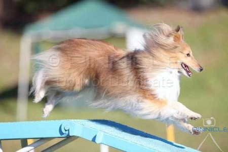 Central Coast Dog Obedience Training Club - Agility Trial - 28 June 2015