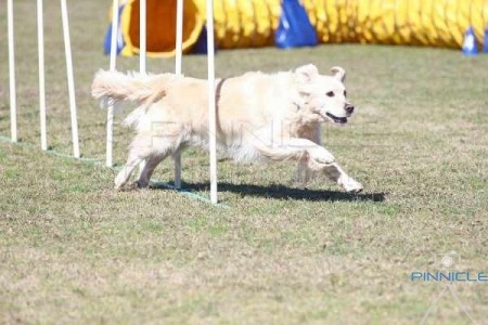Dogs NSW Spring Fair Agility - 29th August 2015