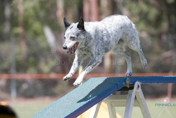 Newcastle Agility ANKC -  11th March 2017
