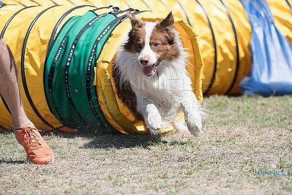 Agility Fundraiser - 3 March 2018 - Dogs NSW Orchard Hills