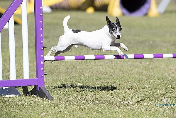 Agility - ANKC - Shoalhaven - 5th May 2018