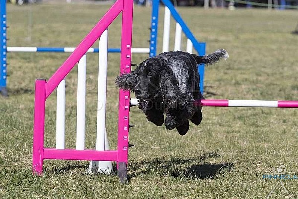 Agility - ANKC - Manly - 4th Aug 2018