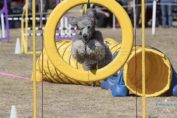 Agility - ANKC - Spring Fair 1st September 2018