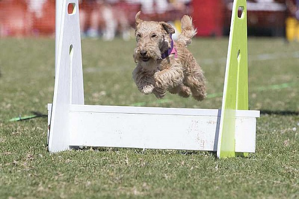 Flyball Nationals 2018 - Kiama NSW - Friday 14 September
