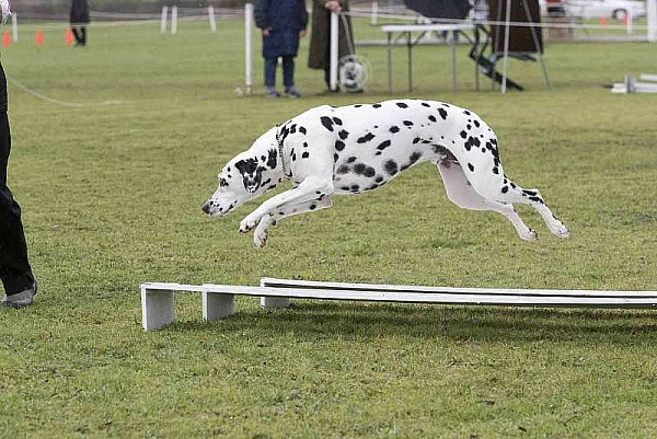Dalmatian Club of NSW - 16th Nationals - Obedience|Rally O| Agility - 14th October 2018