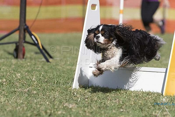 Flyball - Racing for Skype - Castle Hill NSW - 14 April 2019