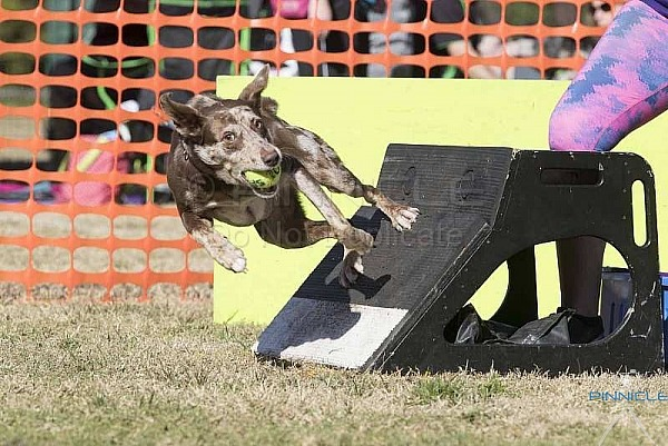 Flyball - Sydneysiders Southerly Change - Sutherland NSW - 18th August 2019
