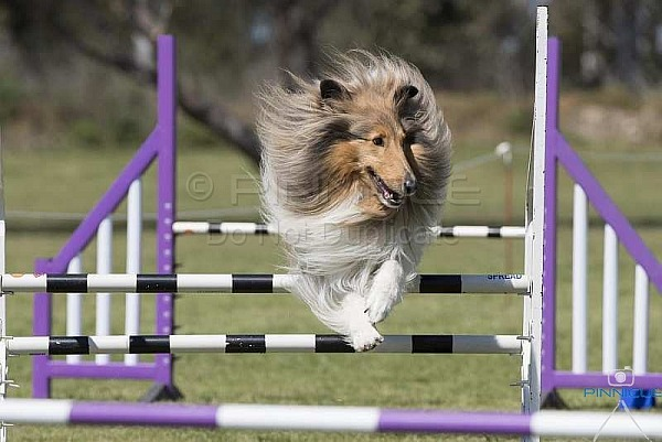 Agility - ANKC - Illawarra Collie & Shetland Sheepdog Club - Agility - 28 Sep 2019