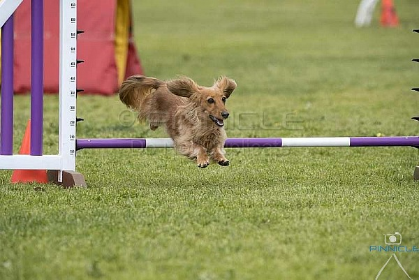 Agility - ANKC - Dogs ACT Agility Titles - 5 Oct 2019