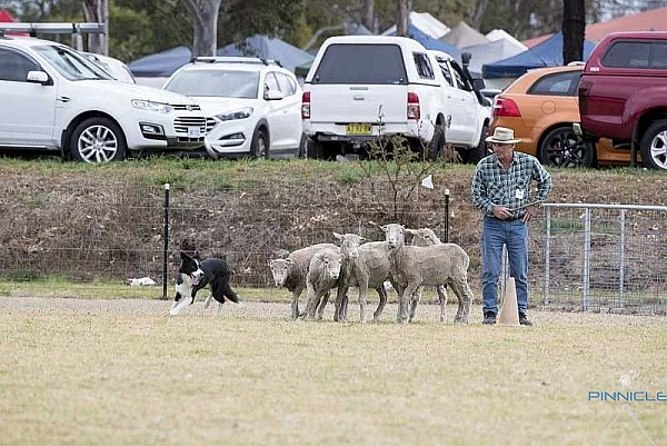Herding - Dogs NSW Spring Fair - 31 Aug 2019