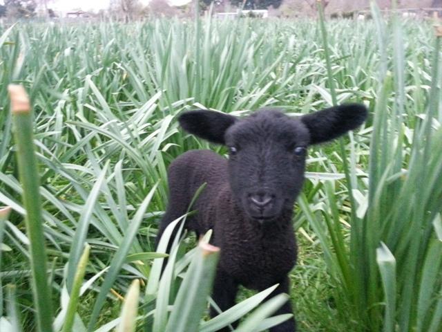 Adopt A Cute Lamb
