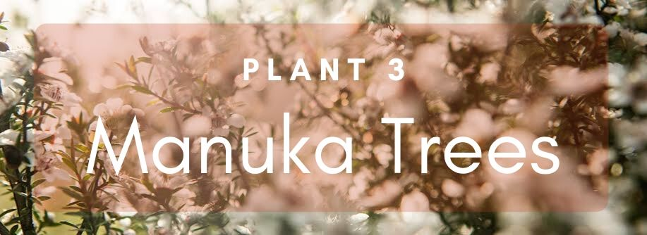 Plant Three Manuka Trees