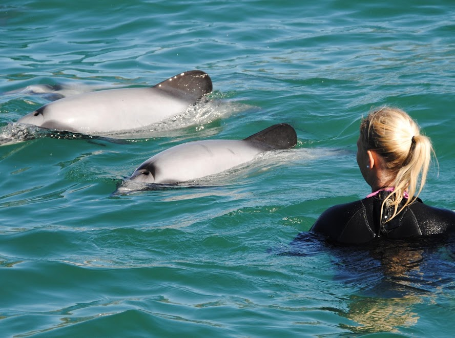 Swim With The Dolphins In Akaroa - DRAW