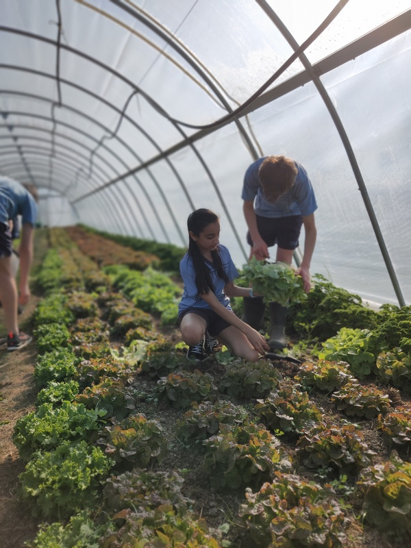 Harvesting lettuces over winter from the hothouses