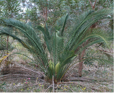 Zamia/Cycad palms voucher valued at $500