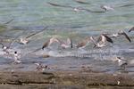 seabirds in flight at Low Isles, in Far North Queensland