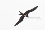 Lesser frigatebird in flight at Raine Island, in the Far Northern Management Area