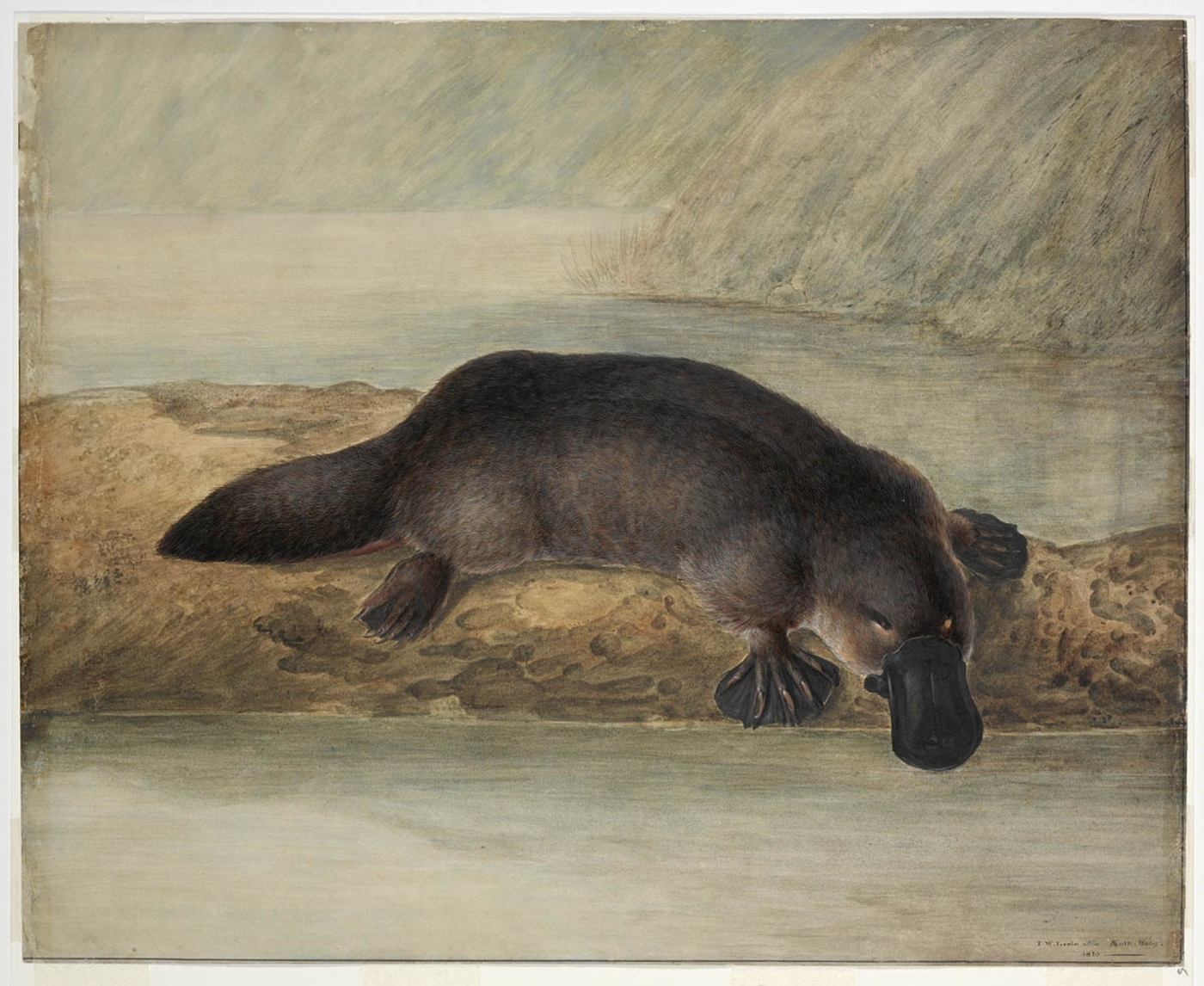 Animal known as the platypus is on a rock with it's beak towards the water
