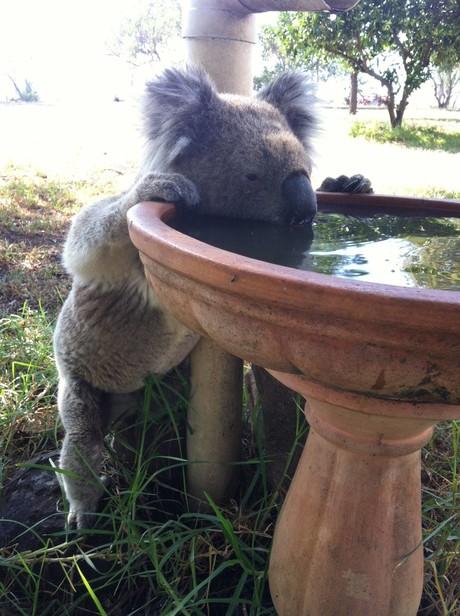 Koala drinking from bird bath