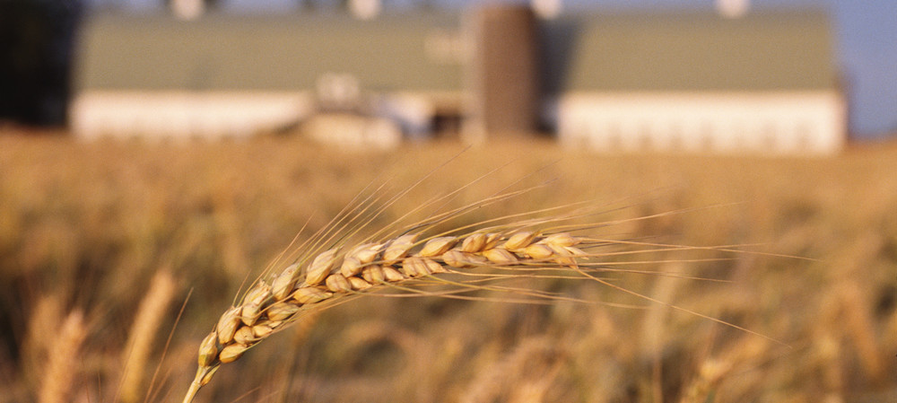 Sequencing completed for wild wheat, mutant rice genomes