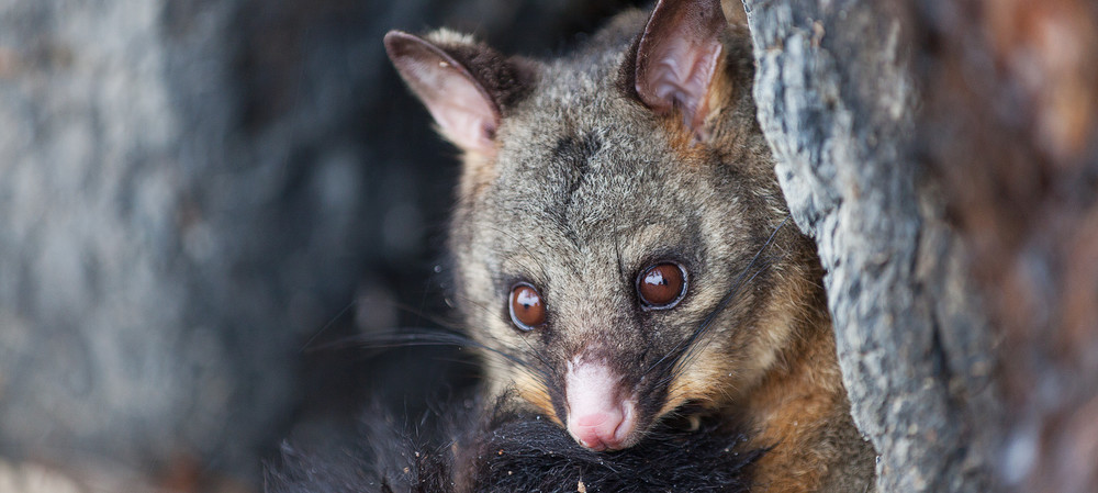 Tackling antibiotic resistance, one piece of possum poo at a time