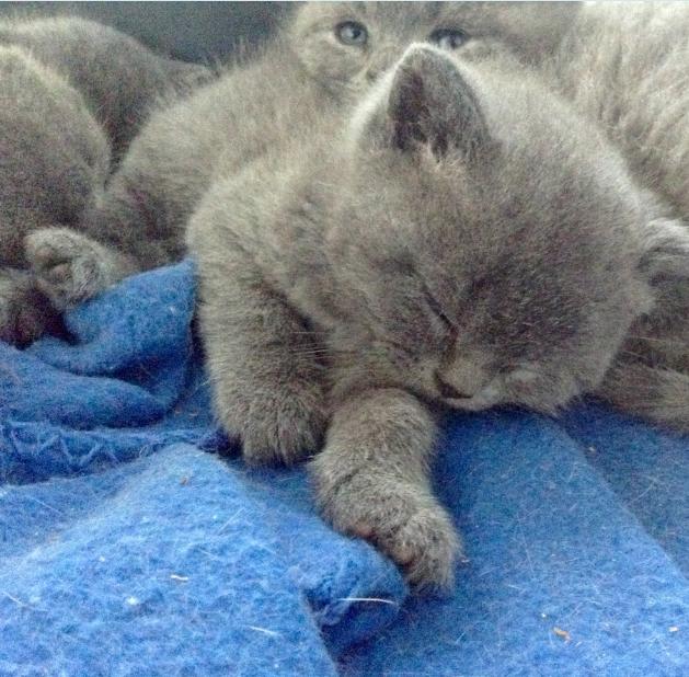 British Shorthair Kittens gallery image