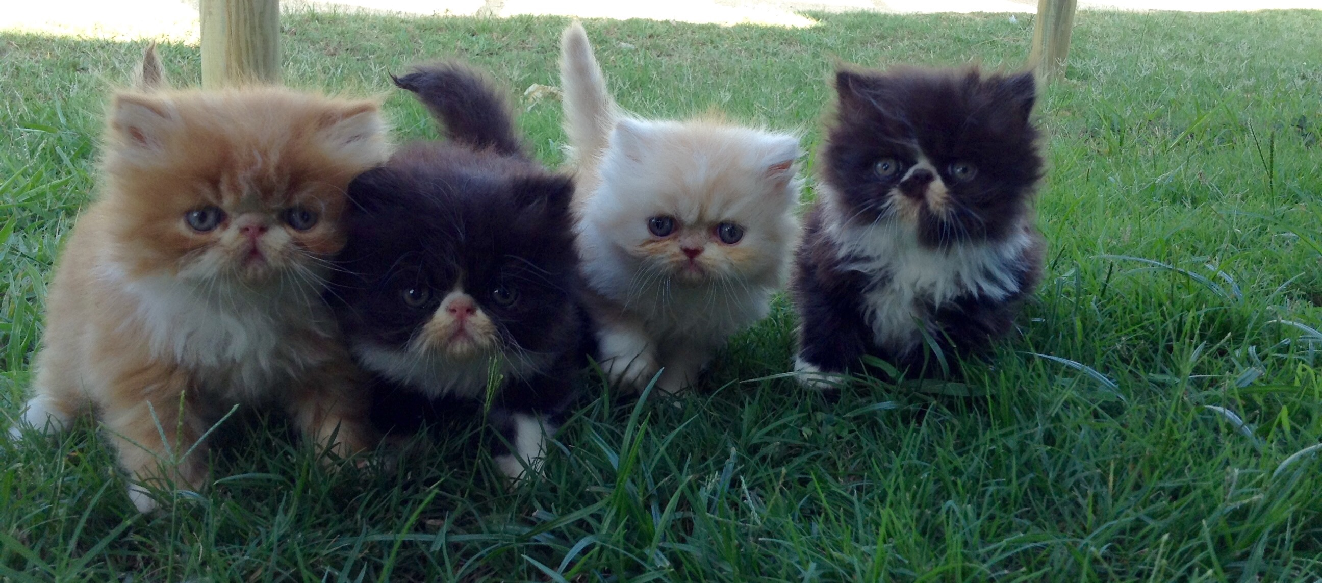 Persian litter gallery image