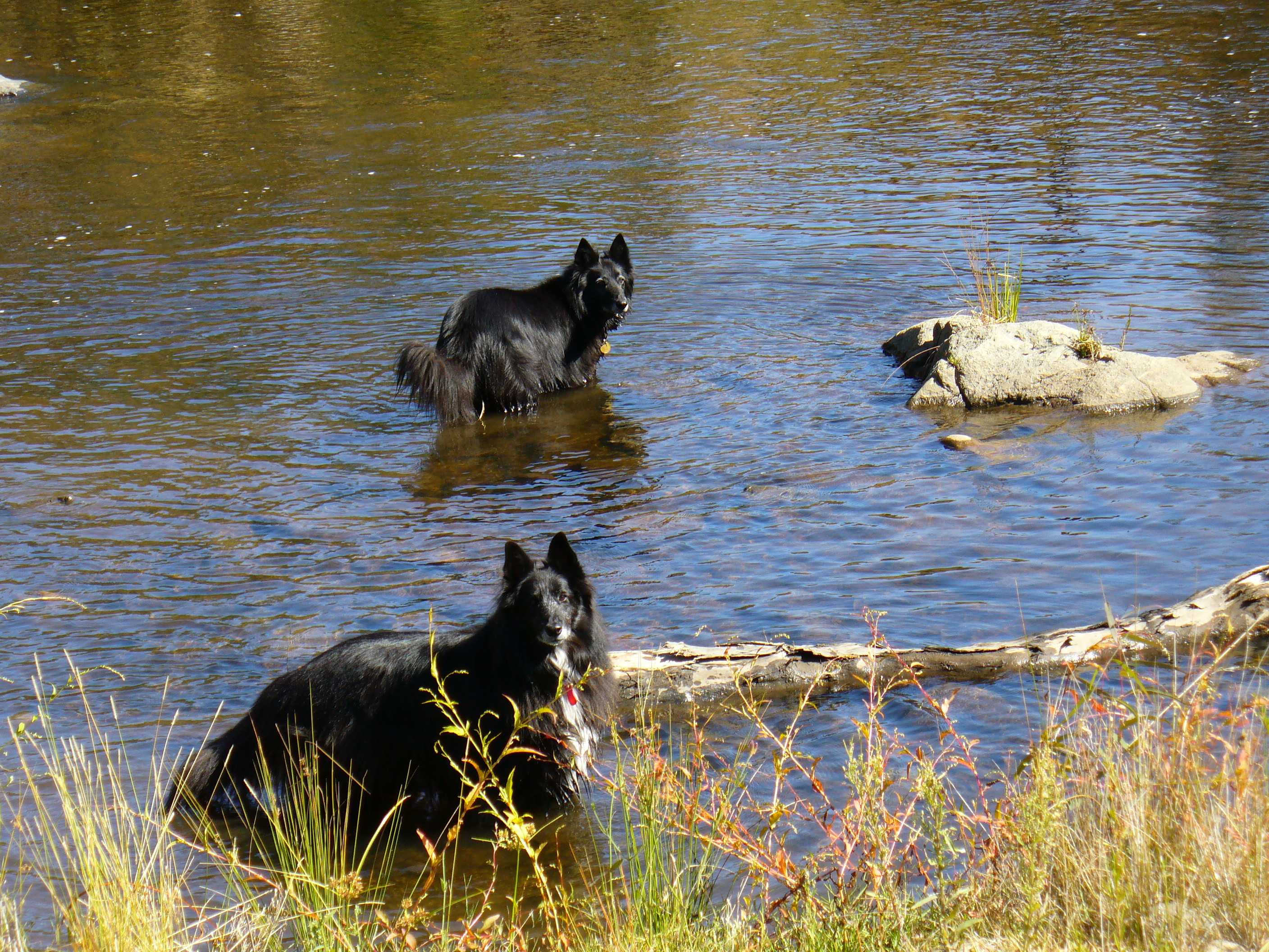 the dogs enjoying time out in the river gallery image